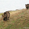 Blaze and her Yearling Cub (Hobo) strolling along Indian Pond, YNP, 5/24/12