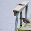 Green Heron on the fishing dock