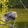 Great Blue Heron at Peterson Park in Ames, Iowa