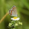 Northern Brown Argus<br><i>Aricia artaxerxes hakutozana</i><br> Family <i>Lycaenidae</i><br> Yeongsangang River, Damyang-gun, Jeollanam-do, South Korea<br> 1 June 2014
