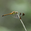 <i>Sympetrum infuscatum</i> (female)<br> Family <i>Libellulidae</i><br> Gakhwa Reservoir, Gakhwa-dong, Gwangju, South Korea<br> 20 July 2014
