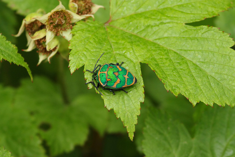 Clown Stink Bug<br><i>Poecilocoris lewisi</i><br> Family <i>Scutelleridae</i><br> Mudeungsan National Park, Ullim-dong, Gwangju, South Korea<br> 24 May 2014