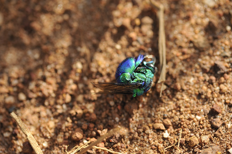 Stilbum cyanurum s.l. (Chrysididae), Large Cuckoo Wasp. Beatrice Hill, NT, Australia. October 2010
