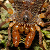 #5 Laniatore - detail of the beauty. How would you like to be hugged by those spiny pedipalps?
