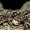 #2 Fishing spider (Dolomedes tenebrosus) eating a harvestman spider