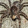 #2 Fishing spider (Dolomedes tenebrosus) eating a harvestman spider