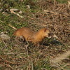 Least Weasel / Belette / 쇠족제비<br> <i>Mustela nivalis mosanensis</i><br> Family <i>Mustelidae</i><br> Gangjin Bay, Gangjin-gun, Jeollanam-do, South Korea<br> 4 January 2015