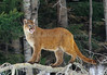Cougar, Mountain Lion, Puma, North America