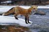 Red Fox, North America