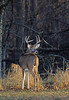 White Tail Buck, North America