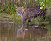 bobcat, Merritt Island National Wildlife Refuge, FL in January