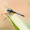 Male Blue Dasher pachydiplax longipennis - Head up position