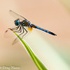 Male Blue Dasher pachydiplax longipennis - Head down position