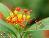 Milkweed Assassin Bug - Zelus longipes on Butterfly Milkweed Asclepias tuberosa