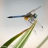 Male Blue Dasher pachydiplax longipennis
