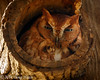 Rufous (Red) Morph Eastern Screech Owl