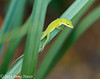 Green Anole at Sunset