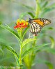 Monarch Butterfly Danaus plexippus on Butterfly Weed