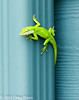 Green Anole on Gutter