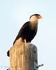 Crested Caracara at Sunset