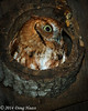 Rufous (Red) Morph Eastern Screech Owl at Night