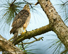 Adult Female Cooper's Hawk