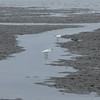 Egrets in the mudflats at low tide