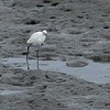 Egret on low tide mudflats