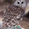 Barred Owl: 210