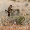 Northern Harrier, Bosque Del Apache