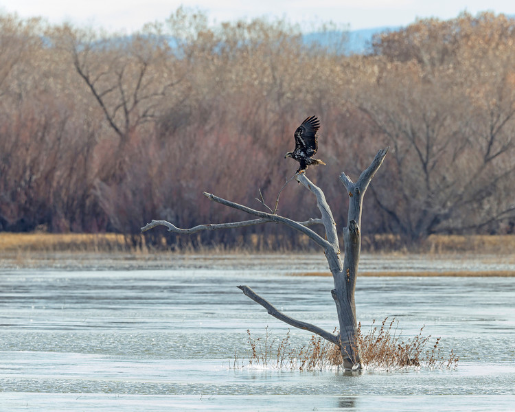 Juvenile Bald Eagle,  lands with a snack it took from the local pond.  Bosque Del Apache.