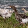 Feral geese (Anser anser), Otago Harbour. Female (left), male (centre) and chick (right)