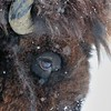 Bison (Snow Storm)<br /> Rocky Mountain Arsenal NWR<br /> Adams County, Colorado