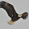 Bald Eagle (Immature, 4th year)<br /> Boulder County, USA