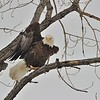 Bald Eagle<br /> Boulder County, USA