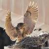 Great Horned Owl in Nest with Owlets<br /> Weld County, Colorado