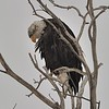 Bald Eagle (Immature, 4th year)<br /> Rocky Mountain Arsenal NWR<br /> Adams County, USA