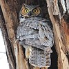 Great Horned Owl (mom)<br /> Boulder County, USA