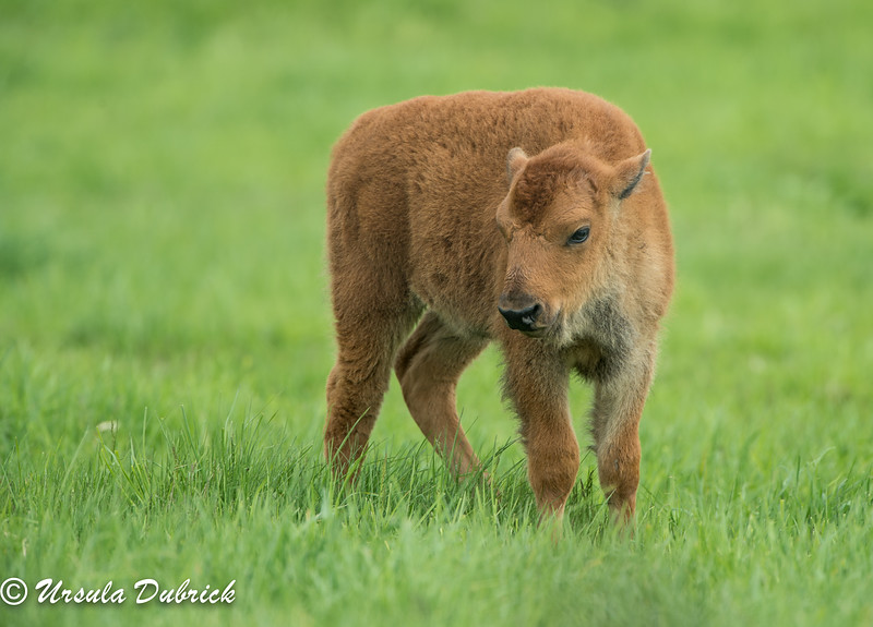 Young bison - Fermi Lab Property in Batavia, IL