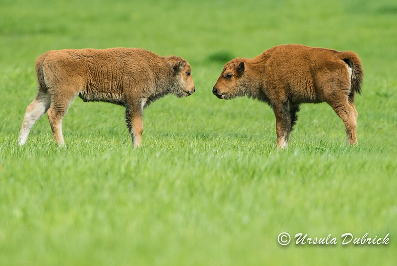 Baby bison face-off.