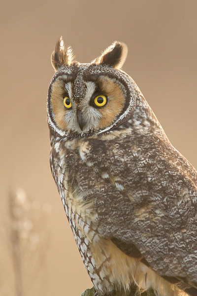 Long Eared Owl 0015