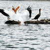 Pelican with Cormorants and Turtles
