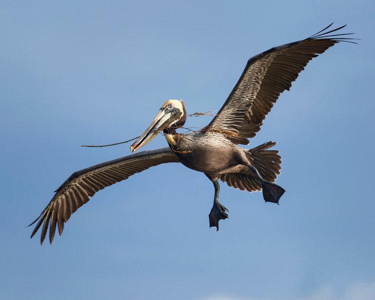 Pelican carrying nesting material to his lair,  photograph captured near of aroung Bird Island in the Banana River.