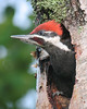 Pileated Woodpecker 30