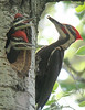 Pileated Woodpecker 20