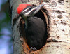 Pileated Woodpecker 22