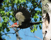 Pileated Woodpecker 5