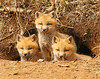 Red Fox Kits 49