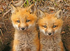 Red Fox Kits 51