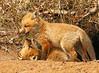 Red Fox Kits 50
